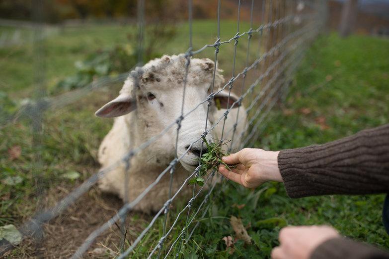 Tyler Feeding Sheep