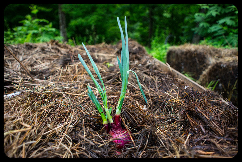 Planting Sprouted Onion (from Compost Pile)