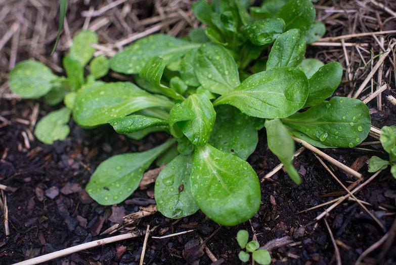 Mache Lettuce Greens