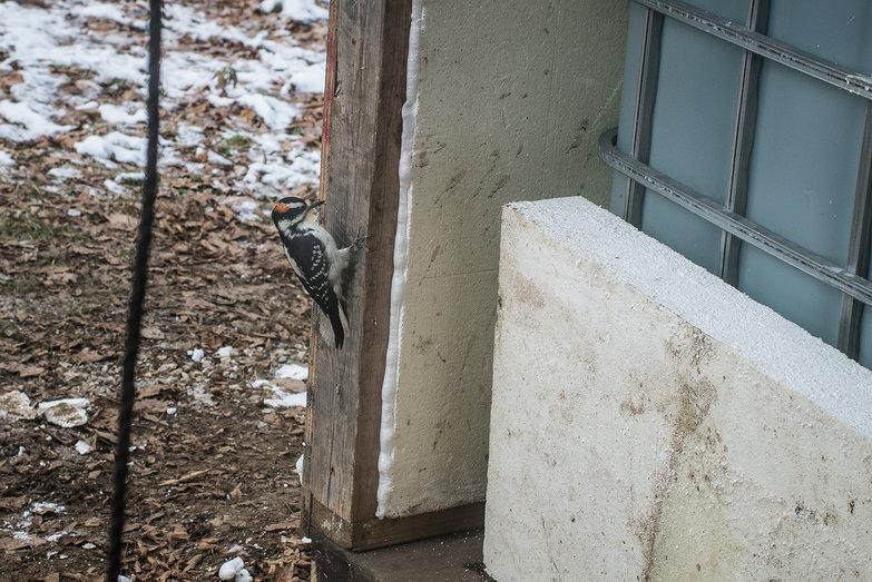 Woodpecker On Cistern Shed