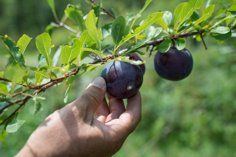Plum at Elmore Roots Nursery