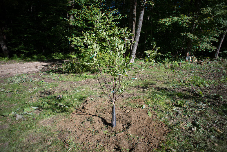 Freshly Planted Mesabi Cherry Tree