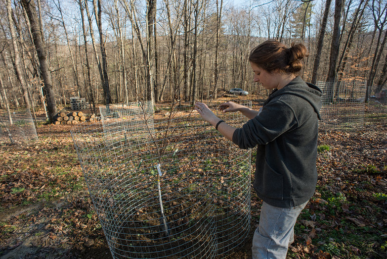 Tara Putting Wire Cage Around Fruit Tree