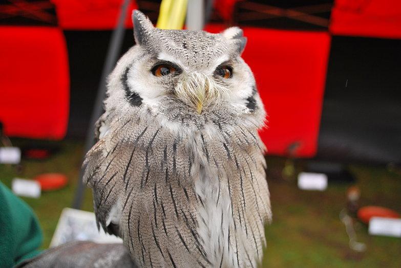 Alnwick Castle Owl