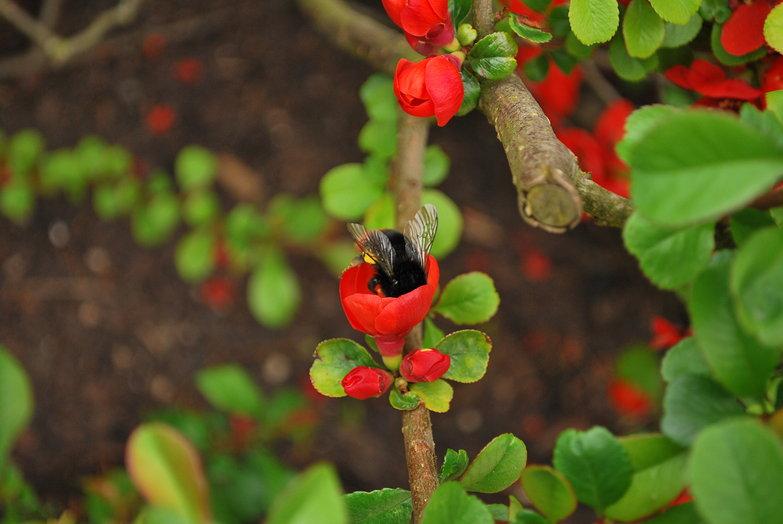 Alnwick Castle Garden Bee