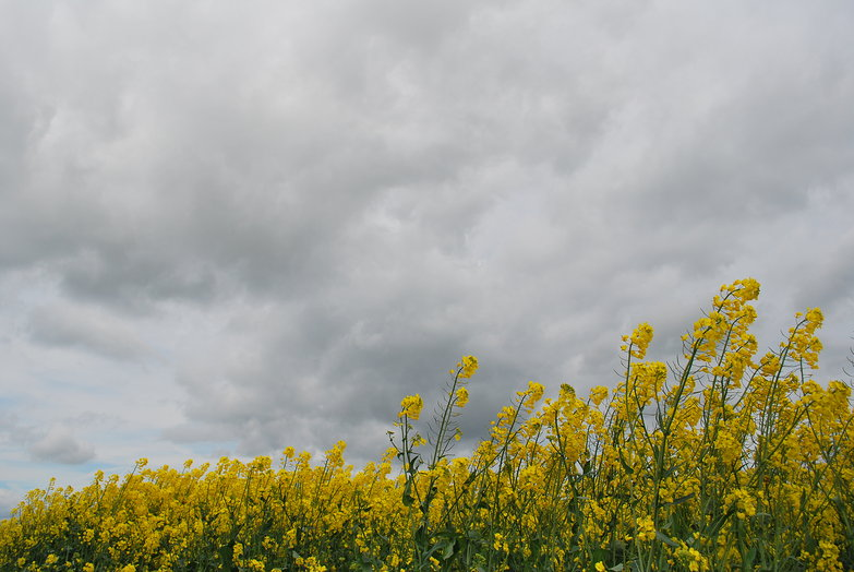 Windy Rapeseed Field