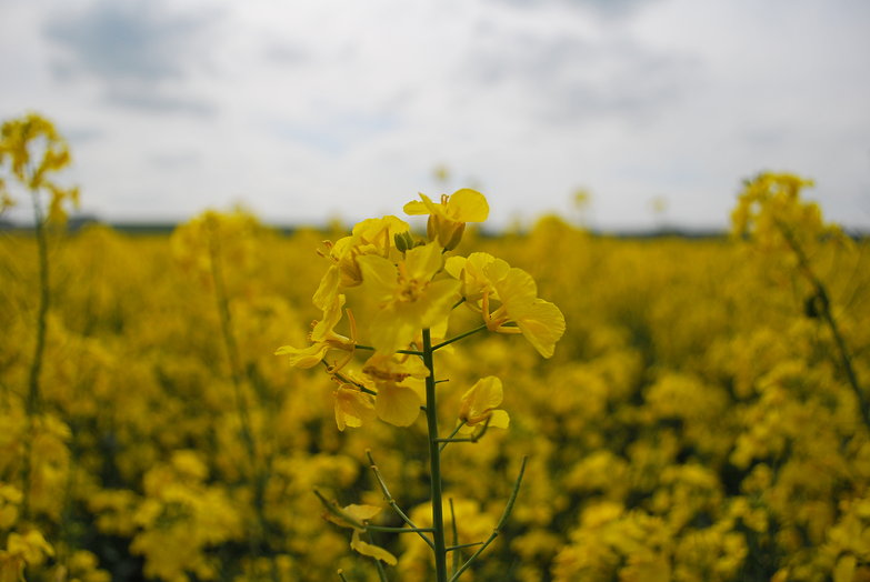 Rapeseed Flower
