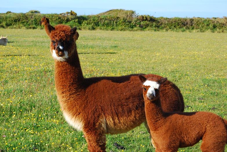 Llama Mamma & Baby Llama