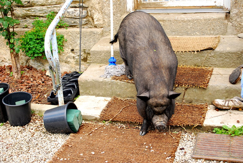 French Pot Bellied Pig