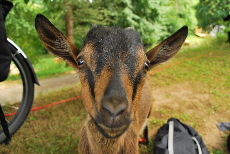 Goat Visitor