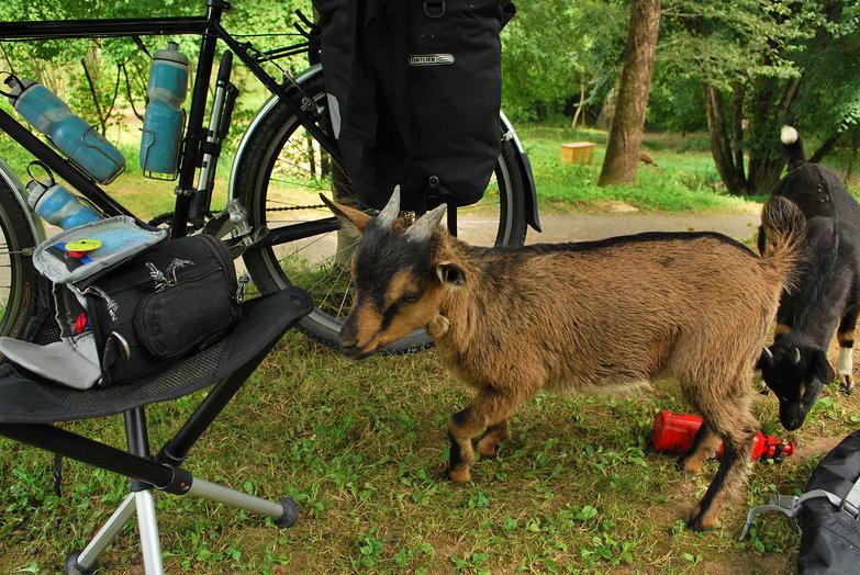 Goat Visitors