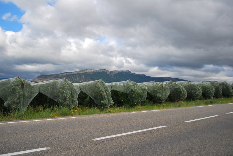 Covered Apple Trees