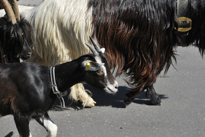 Swiss Goats