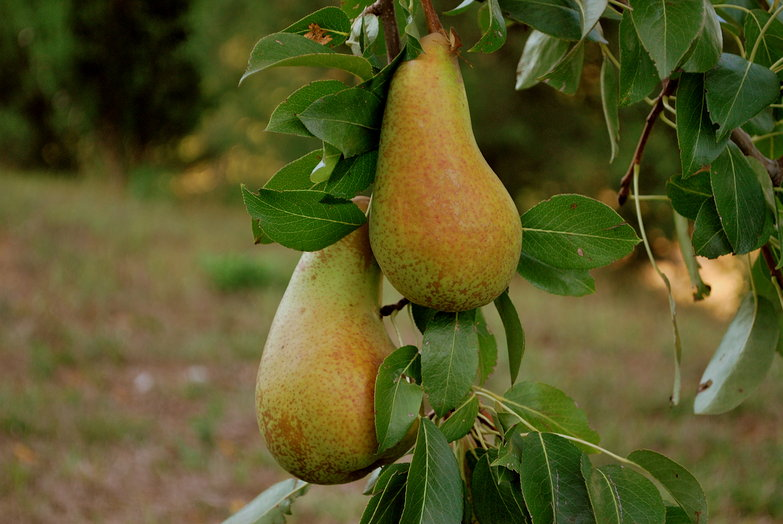 Mezzapiaggia Pear Tree