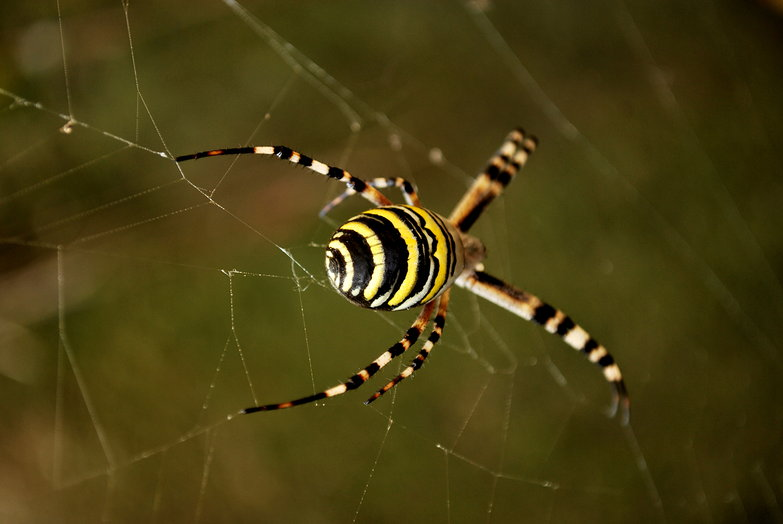 Spider Back
