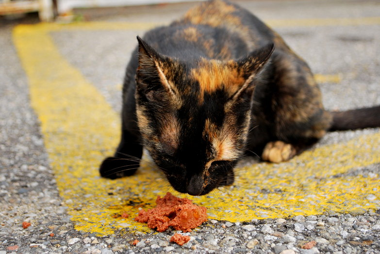 Feeding a Hungry Stray Cat
