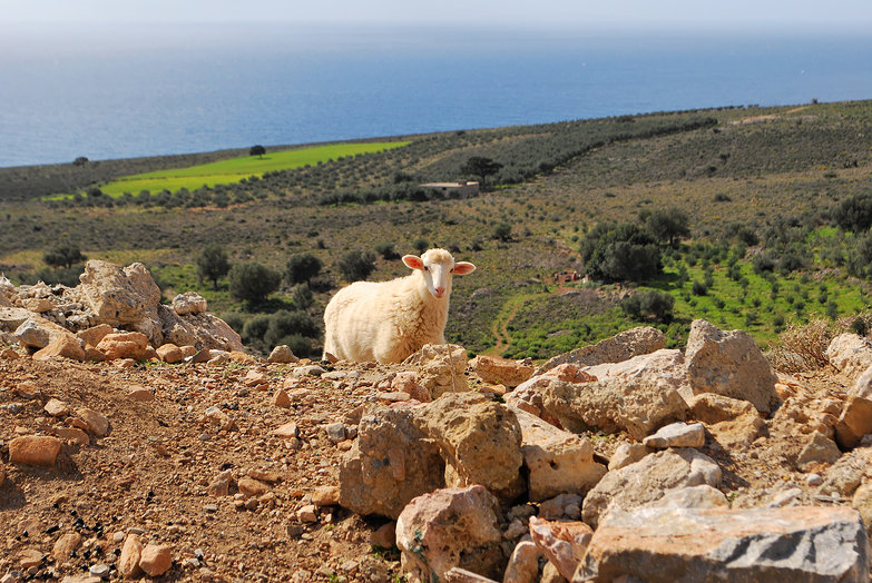 "Cretan Sheep: ""Cute-Ears McGee"""