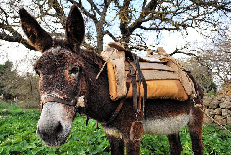 Cretan Donkey