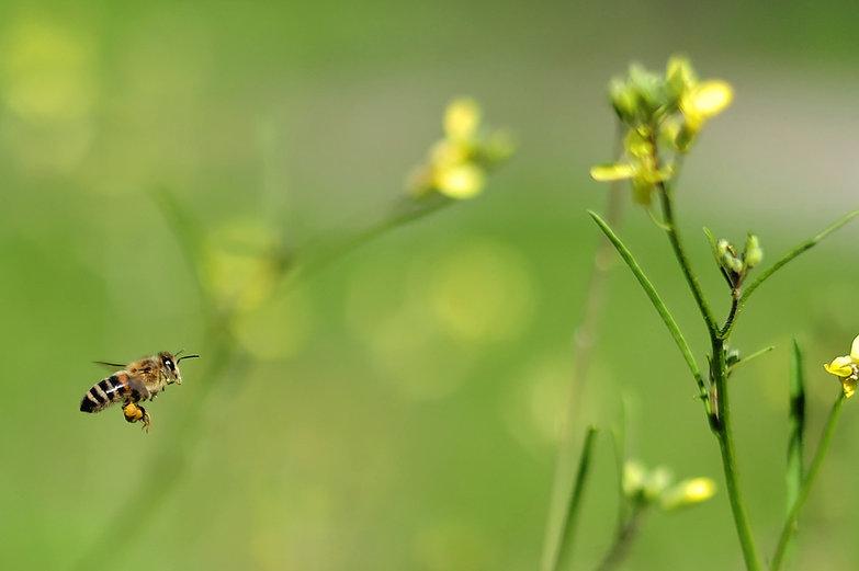 Bee Hauling Pollen