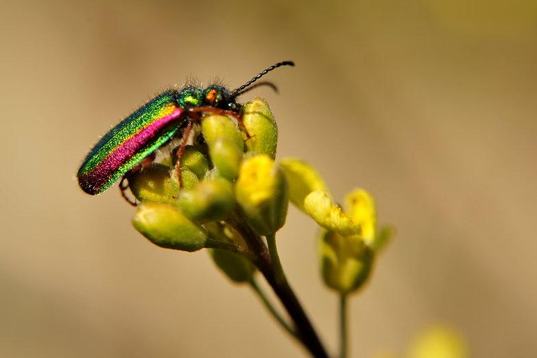 Fuzzy Rainbow Bug
