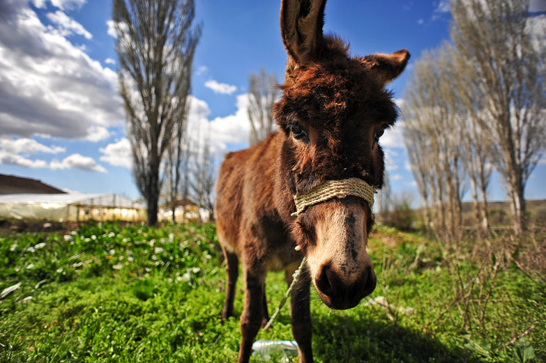 Macedonian Donkey