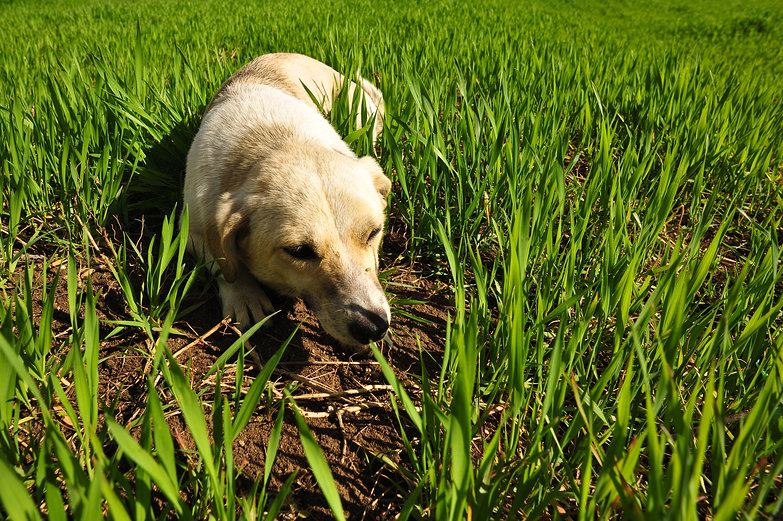 Serbian Puppy in the Grass
