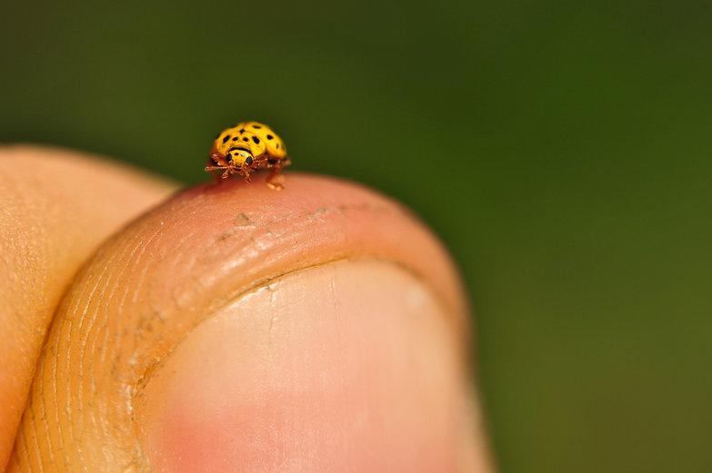Ladybug on Thumb