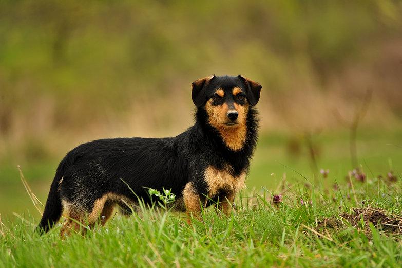 Regal Shepherd Dog