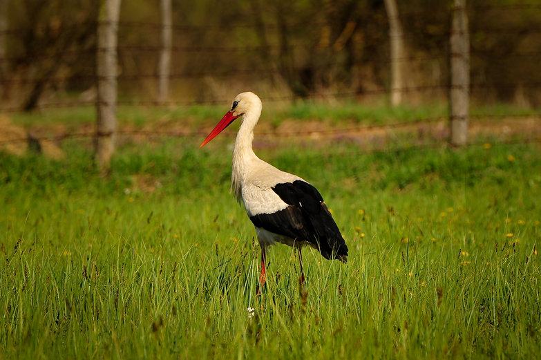 Romanian Crane