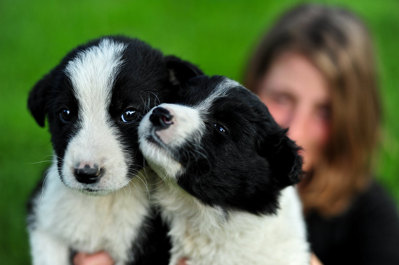 Romanian Border Collie Pups