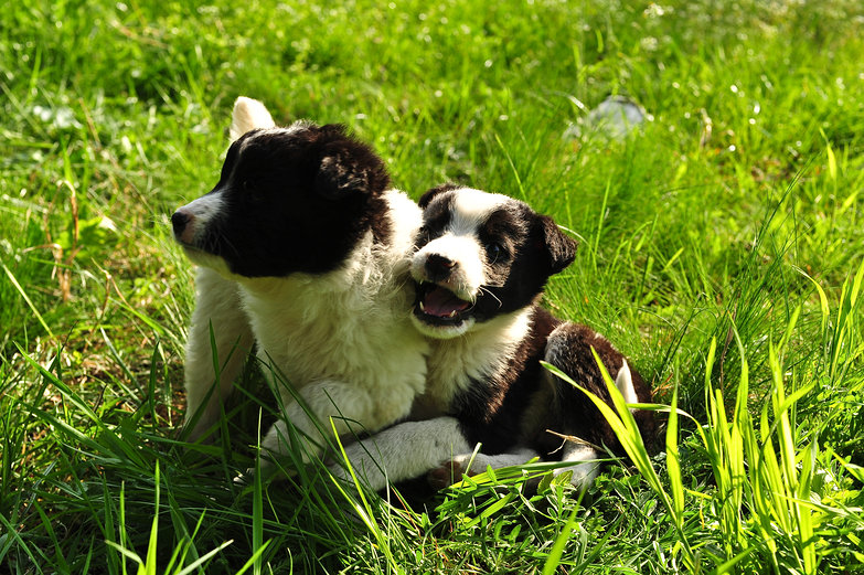 Abandoned Border Collies Playing