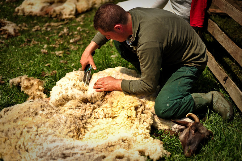 Romanian Sheep Shearing