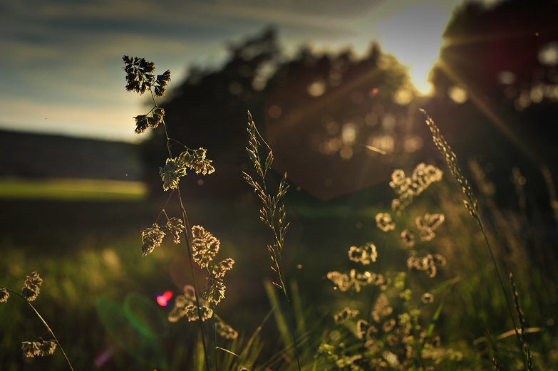 Golden Hour Grass