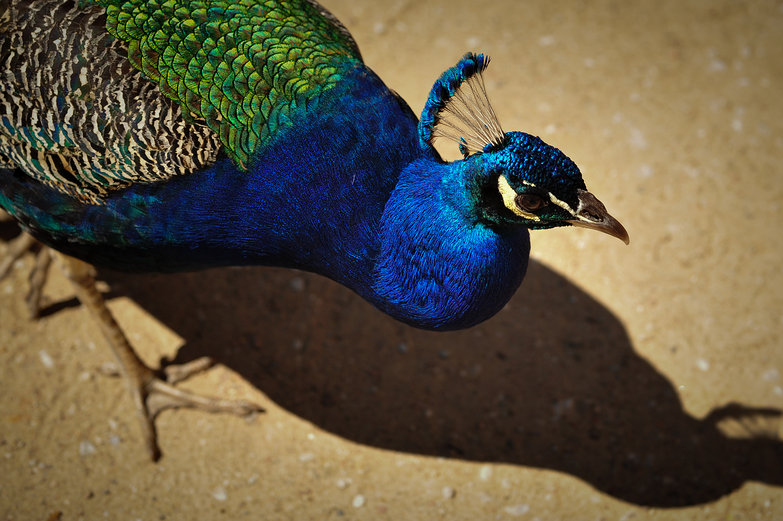 Polish Peacock