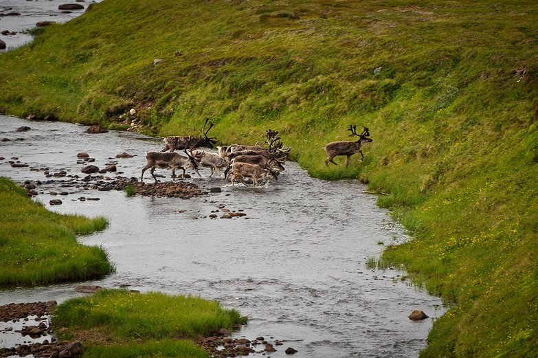 Norwegian Reindeer River Crossing
