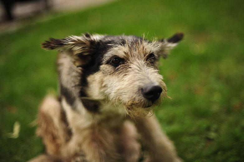 Novogrod Doggie