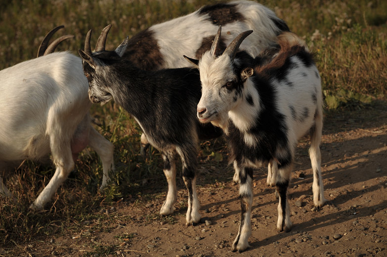 Russian Goats