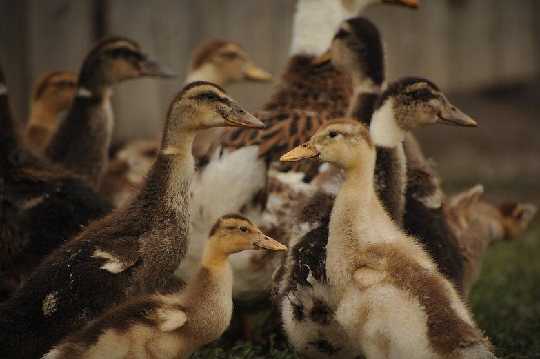 Siberian Duckies
