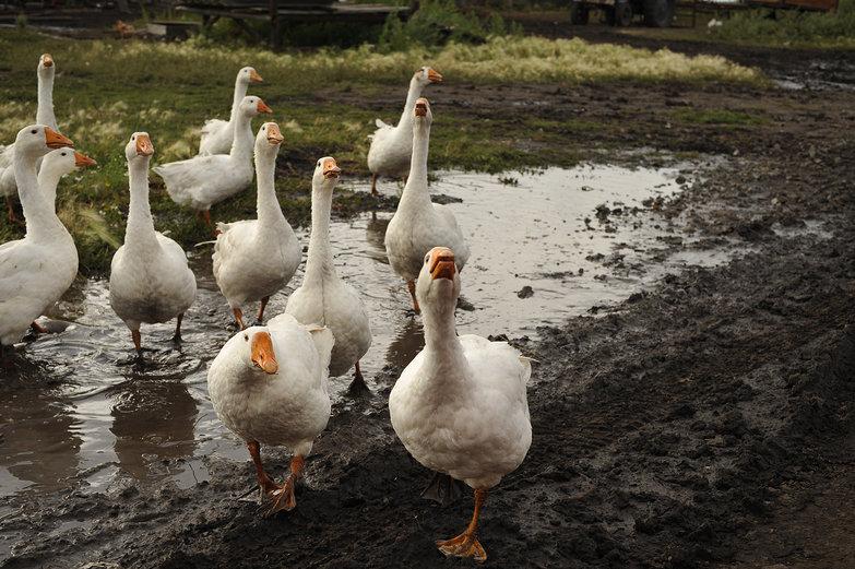 Muddy Geese
