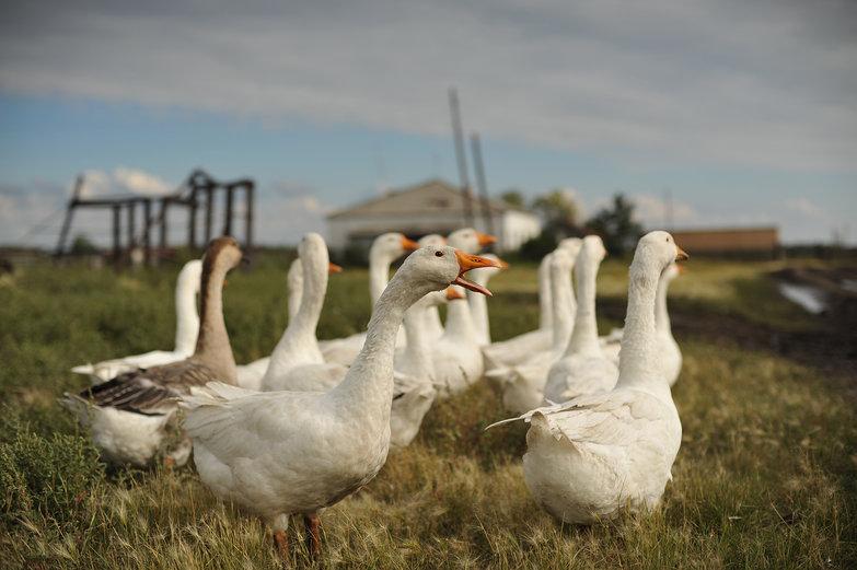Goose Squawking