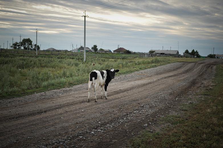 Siberian Cow in Road