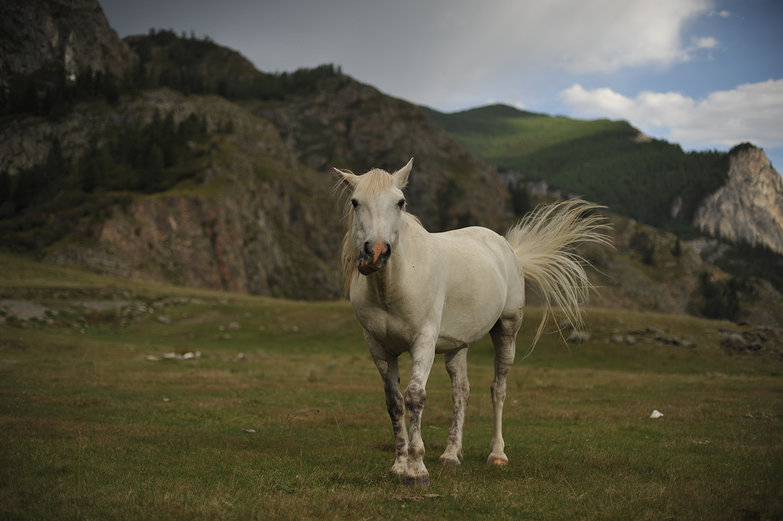White Russian Horse