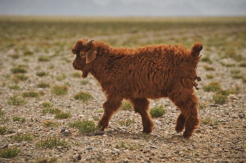 Chauncey the Lamb