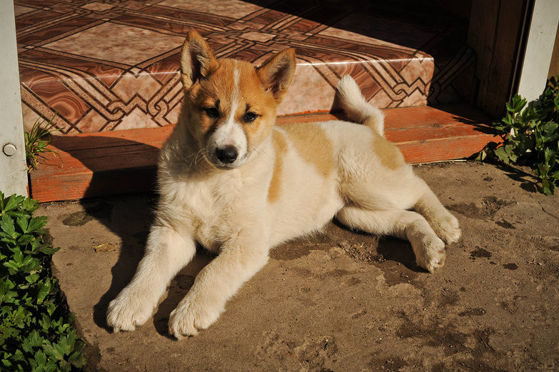Russian Puppy