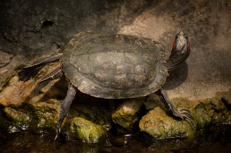 Wat Pho Turtle