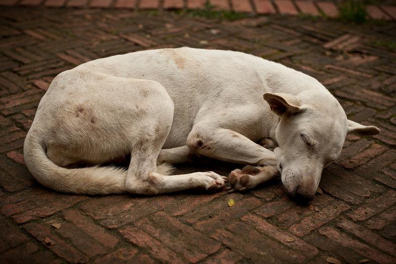 Wat Mahathat Doggie