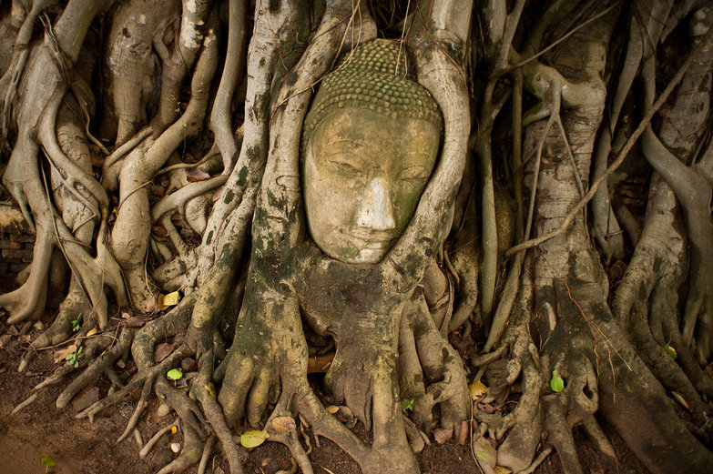 Wat Mahathat Buddha Head in Bodi Tree