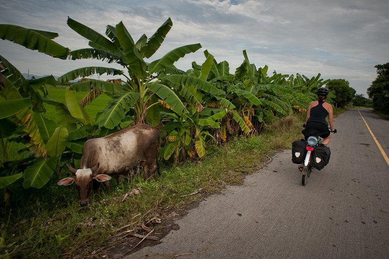 Tara & Cow in Thailand