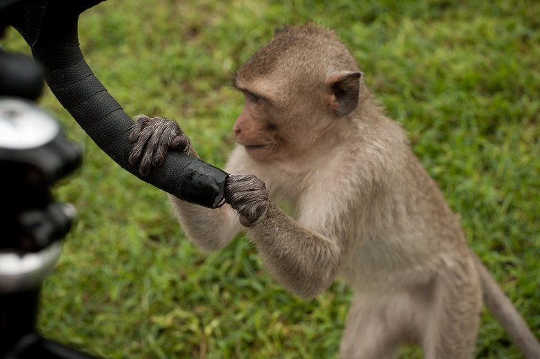 Monkey Fiddling with Handlebar Tape