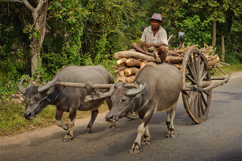 Water Buffalo Pulling Cart